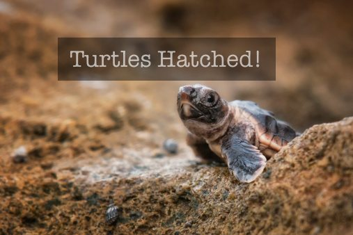 holden beach turtles hatched